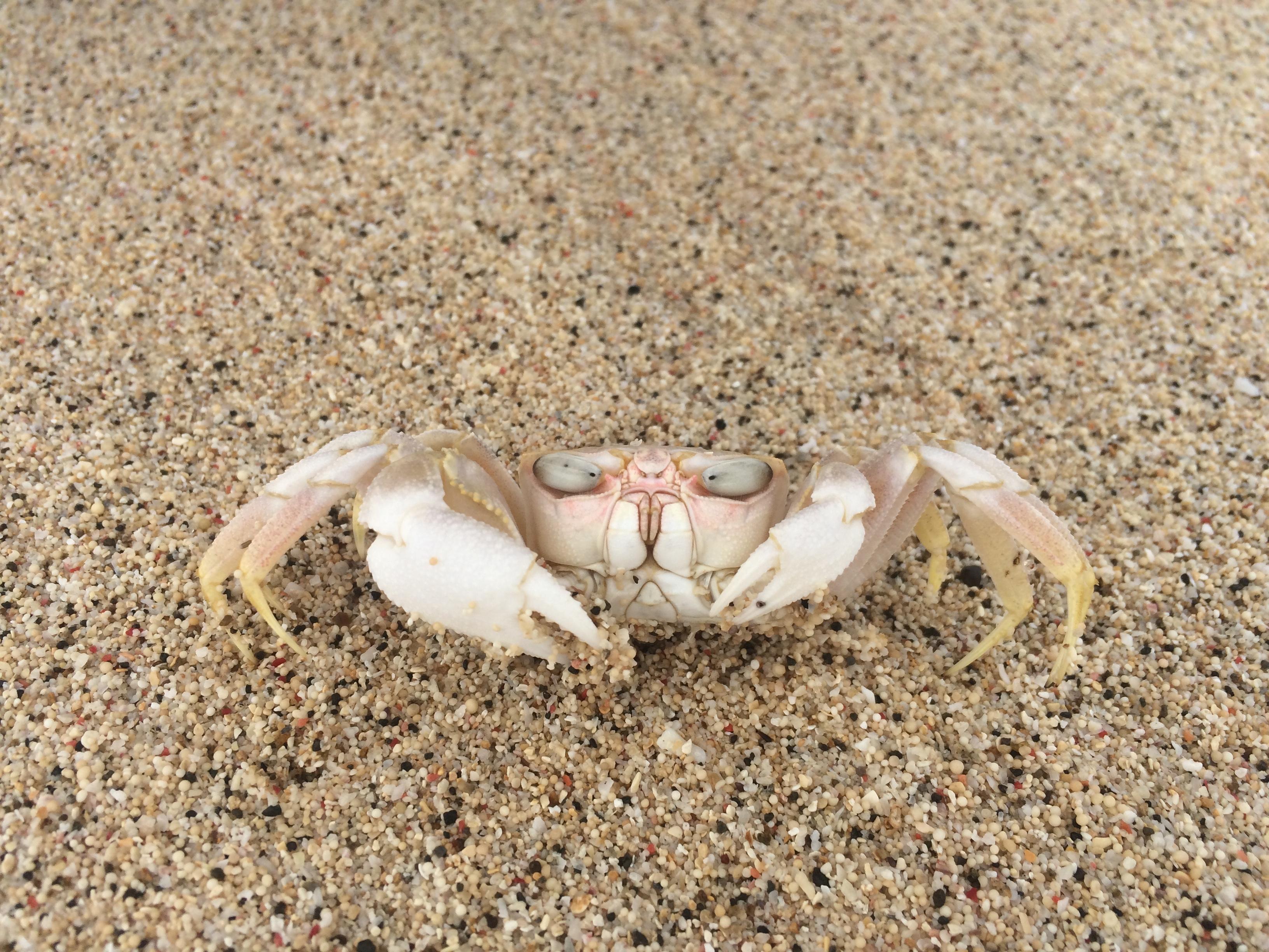 Crabe plage de sable blanc Mekaki, Lombok, Indonésie.